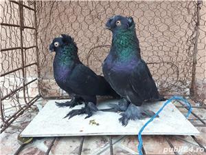 Porumbei Jucatori de Botosani  - imagine 16