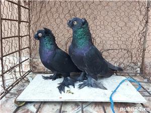 Porumbei Jucatori de Botosani  - imagine 11