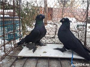 Porumbei Jucatori de Botosani  - imagine 15