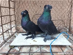 Porumbei Jucatori de Botosani  - imagine 9