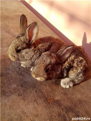 Vand iepuri - imagine 1