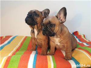 culoare fawn !!! bulldog francez super calitate - imagine 3
