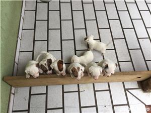 Catei Jack Russel Terrier - imagine 7