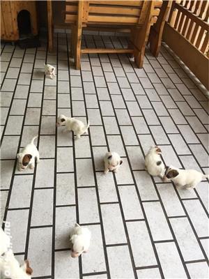 Catei Jack Russel Terrier - imagine 3