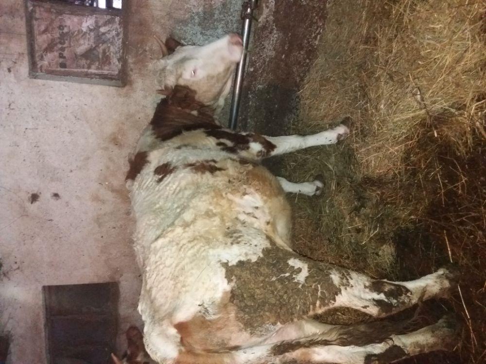 Vaca baltata romaneasca  - imagine 8