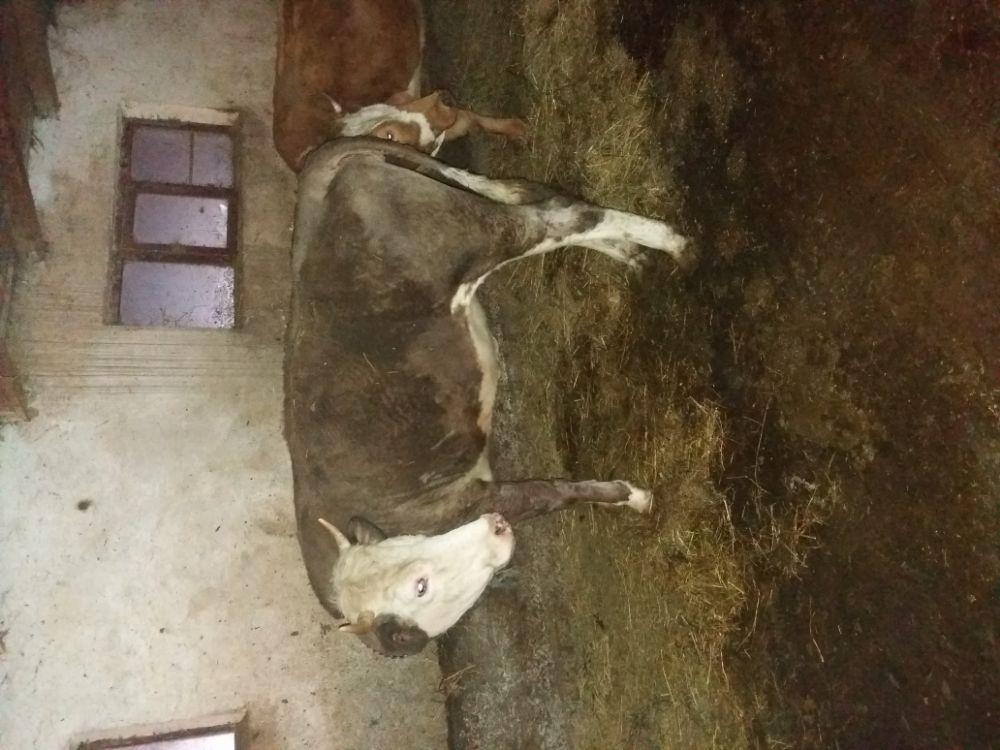 Vaca baltata romaneasca  - imagine 9