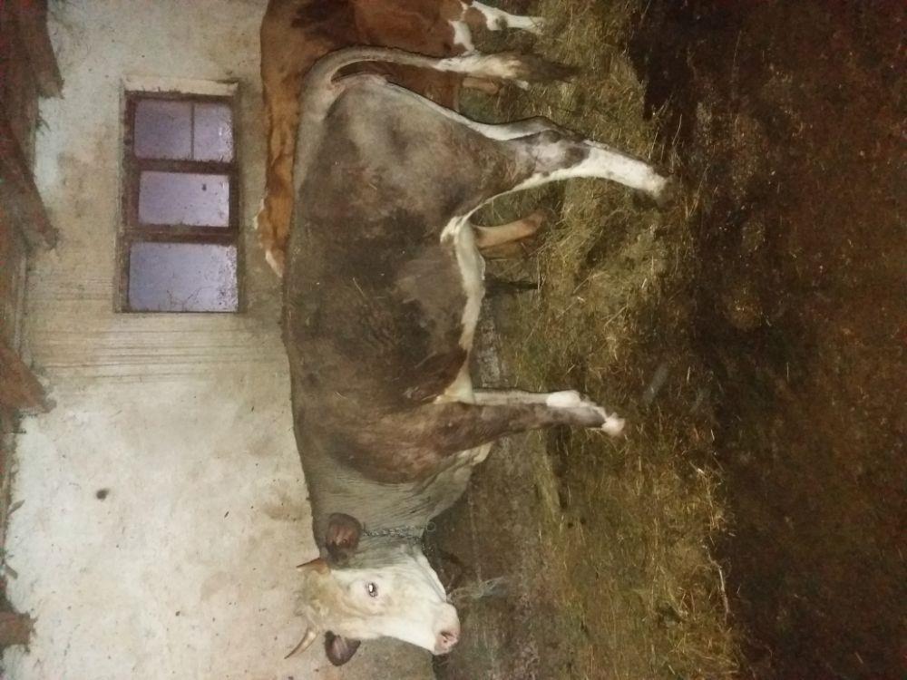 Vaca baltata romaneasca  - imagine 12