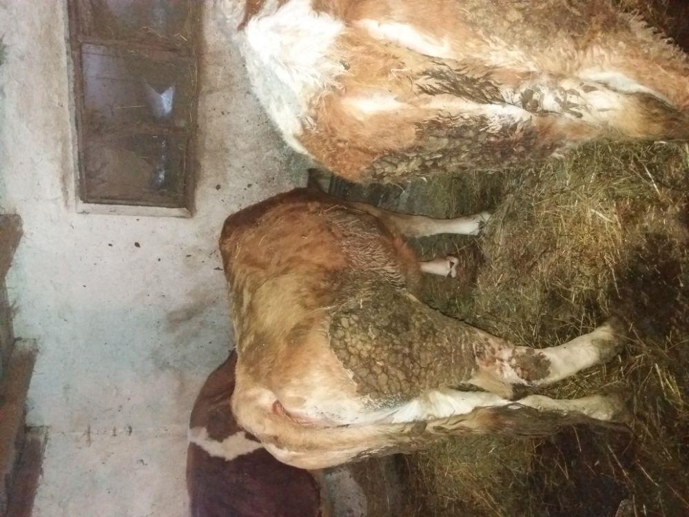 Vaca baltata romaneasca  - imagine 11