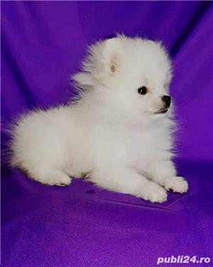 pomeranian boo super mini  - imagine 3