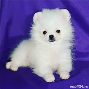 pomeranian boo super mini  - imagine 1