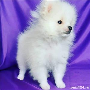 pomeranian boo super mini  - imagine 2
