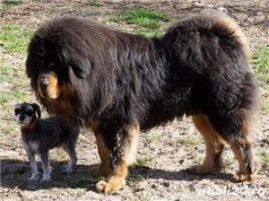 Tibetan mastiff - imagine 8