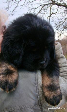 Tibetan mastiff - imagine 4