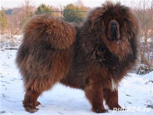 Tibetan mastiff - imagine 2