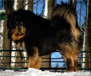 Tibetan mastiff - imagine 5