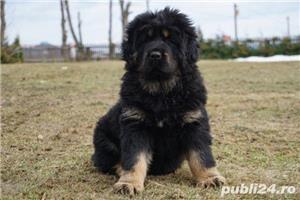 Tibetan mastiff - imagine 7