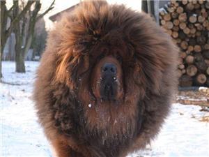 Tibetan mastiff - imagine 3