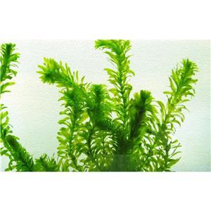 Planta acvariu - Egeria densa (Elodea densa) - imagine 1