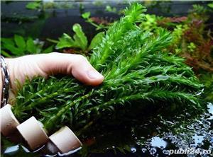 Planta acvariu - Egeria densa (Elodea densa) - imagine 2