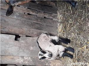 Vând țap si capră cu iada - imagine 4