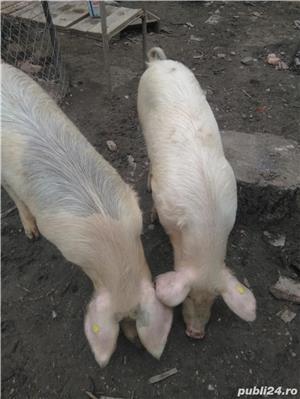 Vând porcii 10 lei kg - imagine 2