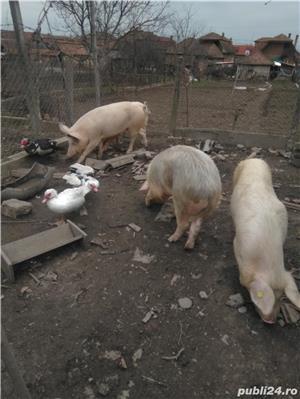 Vând porcii 10 lei kg - imagine 3
