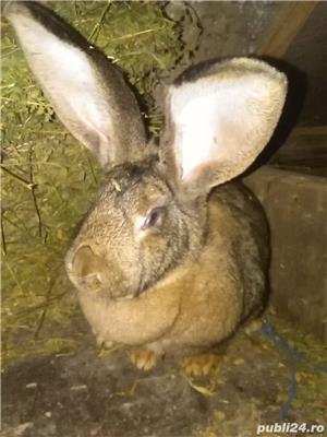 Vand iepuri - imagine 5