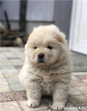 Chow chow femele si masculi!! - imagine 1