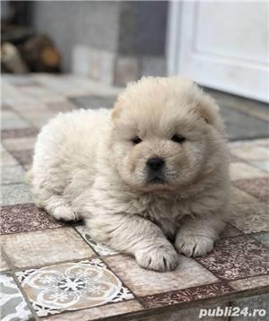 Chow chow femele si masculi!! - imagine 2