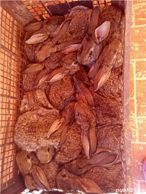 Vand iepuri - imagine 6