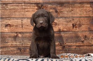 labrador cu pedigree - imagine 2