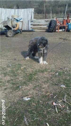 Câini ciobanești - imagine 1