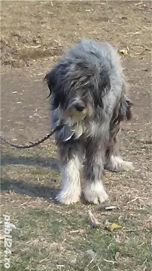 Câini ciobanești - imagine 4