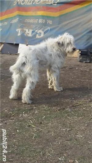Câini ciobanești - imagine 8