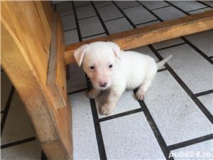 Catei Jack Russel Terrier - imagine 8