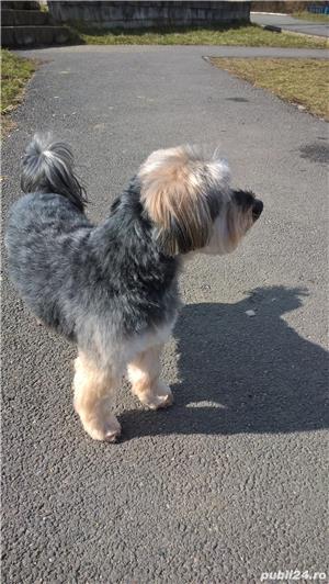 Yorkshire terrier pentru montă - imagine 3