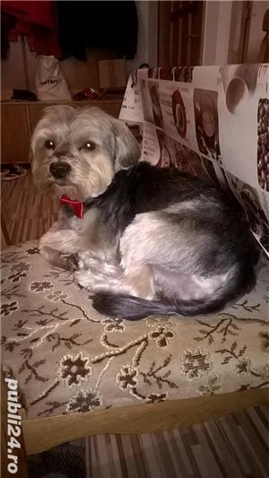Yorkshire terrier pentru montă - imagine 7