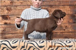 labrador cu pedigree - imagine 3