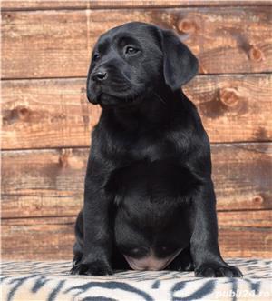 labrador cu pedigree - imagine 1