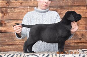 labrador cu pedigree - imagine 6
