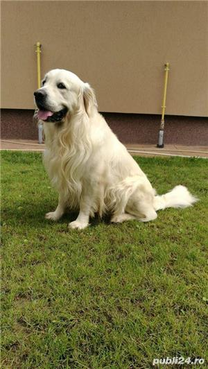 Golden Retreiver pt monta, cu pedigree - imagine 4