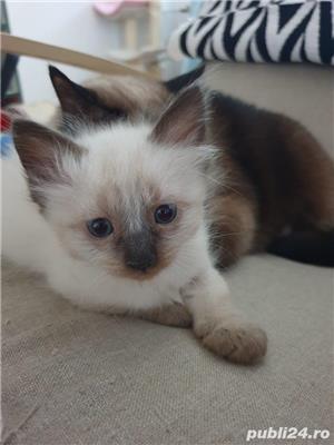 Pui pisica birmaneza, birmanezi - imagine 5