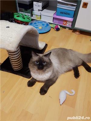Pui pisica birmaneza, birmanezi - imagine 9