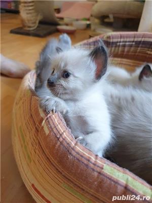 Pui pisica birmaneza, birmanezi - imagine 8