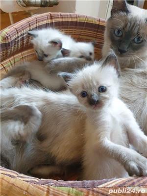 Pui pisica birmaneza, birmanezi - imagine 7