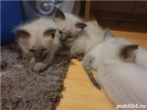 Pui pisica birmaneza, birmanezi - imagine 6