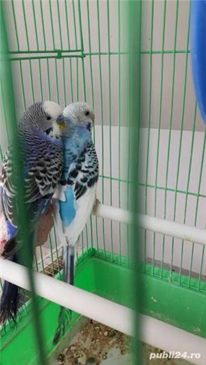 Vand 2 papagali perusi + colivie + mancare - imagine 3