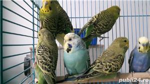 Vând pui papagali perusi . Cu sau fara colivie. - imagine 4