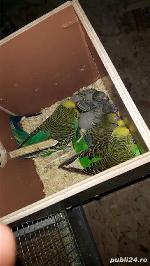 Vând pui papagali perusi . Cu sau fara colivie. - imagine 1