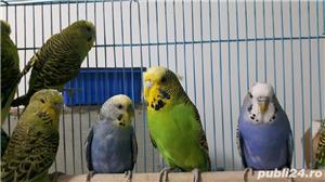 Vând pui papagali perusi . Cu sau fara colivie. - imagine 3